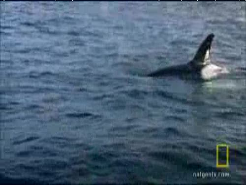 Blackfish vs Great White Shark